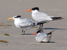 Caspian and Royal Tern