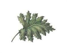"""ACANTHUS MOLLIS LEAF by Morgan Alexandra Kari / original framed 23"""" x 24"""" Colored pencil on Canson gray flecked paper / This drawing was awarded the Judges Award at a recent Brand Library's International Works on Paper juried show / quality Giclee prints on white Arches beveled watercolor paper available 22"""" x 16"""" $100 plus shipping and handling"""