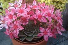 Es bien sabido que las flores de este tipo de plantas tienen un período de vida muy breve, sin embargo lo recompensa la deslumbrante belleza de la flor.