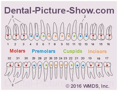 Chart showing the number of roots per tooth type Dental Assistant Quotes, Dental Hygiene Student, Dental Life, Dental Health, Dental Charting, Dentistry Education, Dental Pictures, Dental Anatomy, Tooth Chart