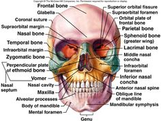 Frontal view of cranial bones.