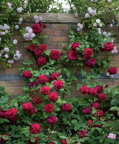to self, in pictures David Austin rose Tess of the d'Urbervilles.David Austin rose Tess of the d'Urbervilles. Beautiful Roses, Beautiful Gardens, Beautiful Flowers, David Austin Rosen, Garden Design Pictures, Rose House, Decoration Plante, Rose Cottage, My Secret Garden