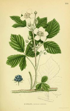 131564 Rubus caesius L. / Lindman, C., Bilder ur Nordens Flora, vol. Vintage Botanical Prints, Botanical Drawings, Antique Prints, Botanical Art, Science Illustration, Plant Illustration, Plant Pictures, Old Pictures, Plant Leaves