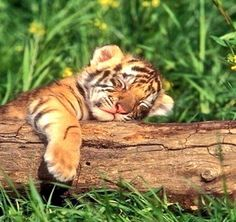 Cute animal sleeping cats and kittens, big cats, sleeping tiger, Cute Wild Animals, Baby Animals Super Cute, Baby Animals Pictures, Cute Little Animals, Cute Animal Pictures, Cute Funny Animals, Animals And Pets, Cute Cats, Adorable Kittens