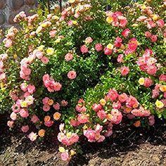 drift groundcover roses