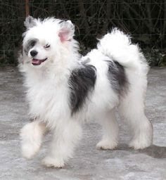 6m1a.jpg (322×350) powder puff Chinese Crested.                                                                                                                                                     More