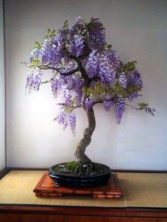 Wondering How Bonsai Trees Are Made? Wisteria Bonsai, Flowering Bonsai Tree, Bonsai Tree Care, Indoor Bonsai Tree, Bonsai Plants, Bonsai Garden, Indoor Plants, Bonsai Trees, Carnivorous Plants