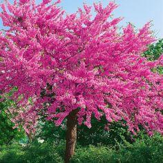 Amazon.de Pflanzenservice Chinesischer Judasbaum, Cercis chinensis, 1 Pflanze, 2 - 3 Liter-Topf, 30 - 40 cm hoch, winterhart