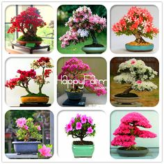 100% Genuine! 10 Pcs Cherry blossoms Sakura seeds Perennial like Azalea Flower Seeds easy grow for Home & Garden in Bonsai #clothing,#shoes,#jewelry,#women,#men,#hats,#watches,#belts,#fashion,#style