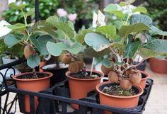 Выращиваем киви дома. Как получить отличный урожай?Оказывается, это так просто! | Новость | Всеукраинская ассоциация пенсионеров