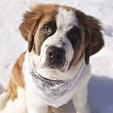 CachorrosBlogs.: Flagelo da Leptospirose - Cachorros.