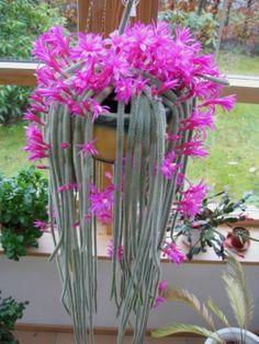 Cactos-Aporocactus-Flageliformis-20131025104411.jpg (525×700)