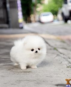 white teacup pomeranian puppy