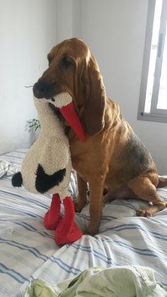 Temporada de Caza Bloodhound Puppies, Dogs And Puppies, Hound Breeds, Dog Breeds, I Love Dogs, Cute Dogs, Redbone Coonhound, Dog Day Afternoon, Akita Dog