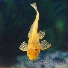 Albino Plecostomus