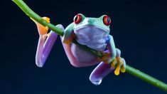 Frogs red-eyed tree frog amphibians wallpaper - Pet care is both enjoyable business. But it is an effort that requires as much responsibility. Wildlife Photography Tips, Animal Photography, Frog Wallpaper, Deco Stickers, Red Eyed Tree Frog, Young Animal, Frog And Toad, Tree Frogs, Animal Kingdom