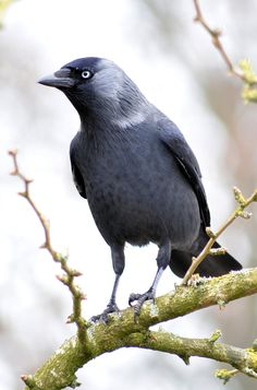 Western Jackdaw (Corvus monedula) smallest member of the crow family found in Great Britain