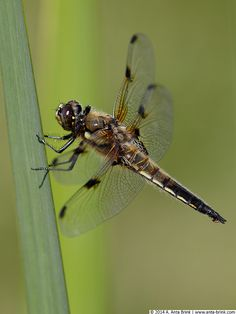 Four-spotted chaser | Vierfleck | Libellula quadrimaculata