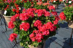 Geranium Ivy - Dixieland Dark Pink