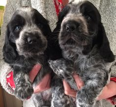 4 lovely cocker spaniel puppies for sale. 2 boys 2 girls. Black roan. Full pedigree. Fully vaccinated and microchipped. Forever loving homes only....