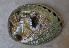 Polished Green Abalone 5-6  Haliotis Fulgens