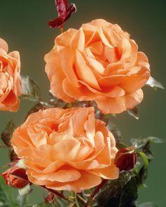 Rosa Amber Queen ®