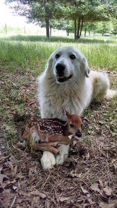 """The large white dog protects the fawn as the hunters approach. The fawn faints, and the dog growls. """"Stay back"""" barks the dog, a shape changer. Up to 4 people I am the fawn) Animals And Pets, Baby Animals, Funny Animals, Cute Animals, Royal Animals, Nature Animals, Cute Puppies, Cute Dogs, Dogs And Puppies"""