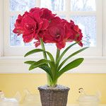 Amaryllis is an easy bulb to grow. Its enormous cluster of trumpet-shape blooms may require staking to keep them upright, but blooms may last for up to 6 weeks.Keep the plant cool (60-65 degrees F) while in bloom but slightly warmer at other times when it is actively growing.   See additional instructions for at website.