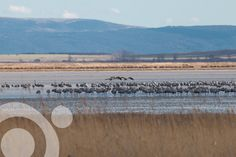 #BirdinginSpain : Cranes (Grus grus) at Gallocanta. Find all the information to plan your trip to #Gallocanta in www.qnatur.com