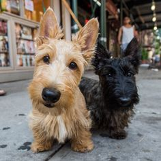 """thedogist: """" Isobel & Agnes, Scottish Terriers m/o), Prince & Sullivan St., New York, NY Chihuahua Puppies, Cute Puppies, Cute Dogs, Dogs And Puppies, Doggies, Terrier Puppies, Animals And Pets, Baby Animals, Cute Animals"""