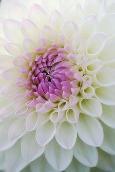 Beautiful, White Dahlia~❥