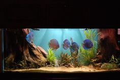 Nicely aquascaped discus aquarium [the lighting is such a good storyteller in this tank!]