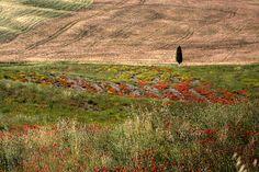 Solitário. Região da Toscana, Itália.  Fotografia: efilpera no Flickr.