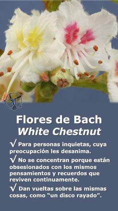 #flores #de #bach #white #chestnut #obsesion #ansiedad #concentracion #beneficios #español #terapia #remedios #terapias #alternativas  #healing #herbs #depresion #desanimo #tristeza #ayuda #combatir #naturales #natural