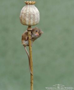 35 Adorable Photos Of Harvest Mice Living Their Tiny Lives By Dean Mason Nature Animals, Baby Animals, Cute Animals, Wild Animals, Harvest Mouse, Pose For The Camera, Cute Mouse, Tier Fotos, Rodents