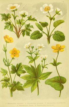 Alpen-Flora für Touristen und Pflanzenfreunde Stuttgart :Verlag für Naturkunde Sprösser & Nägele,1904. biodiversitylibrary.org/page/10384015