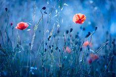 Kind Of Blue, Flower Photography, Color Temperature, Colour, Flowers, Plants, Photos, Color, Pictures