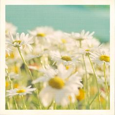 daisies ... he loves me, he loves me not ... who couldn't love me? ; )