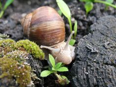 Ślimak winniczek / the Burgundy snail (Helix pomatia)