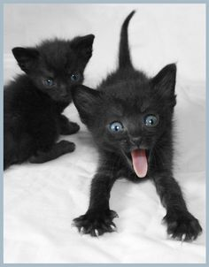 Is there really any reason we shouldn't have a black cat? History hasn't always been favorable to this feline but we can give our love to them. Cute Kittens, Cats And Kittens, Ragdoll Kittens, Tabby Cats, Bengal Cats, I Love Cats, Crazy Cats, Beautiful Cats, Animals Beautiful
