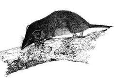 Extinta en 1985. Musaraña de la Isla de Navidad. Crocidura trichura.