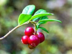 Lingonberries are native to boreal forest and the arctic tundra.     These berries are closely related to cranberries, although I think they really seem more similar to gooseberries or red currants.