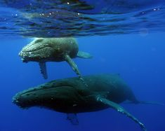 The REAL reason we go to Maui--the annual return of more than 10,000 humpback whales.  Awe inspiring.  From November to May, they are active in Hawaii's waters to give birth and mate.  They don't eat the entire time because there isn't a food source here for them.  Just the safe warm waters of Hawaii.