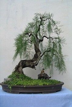 Bonsai styles are different ways of training your bonsai to grow the way you want it to. Get acquainted with these styles which are the basis of bonsai art. Bonsai Tree Care, Bonsai Tree Types, Indoor Bonsai Tree, Bonsai Trees, Mini Bonsai, Bonsai Garden, Garden Trees, Trees To Plant, Succulents Garden