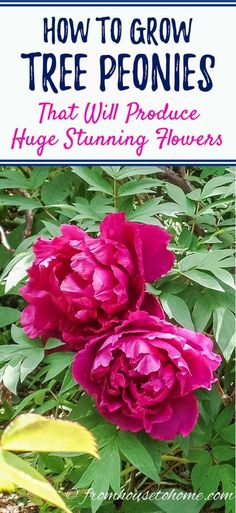 Learn all the details of how to care for and grow tree peonies that will be the star of your garden with their showstopping blooms. | Shade Loving Shrubs Garden Shrubs, Shade Garden, Garden Plants, Tree Peony, Peony Flower, Flower Pots, Plants Under Trees, Trees To Plant, Shade Perennials