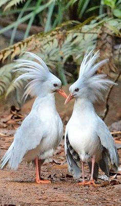 Kagu or Cagou (Rhynochetos jubatus) is a crested, long-legged, flightless bird with bluish-grey plumage, which has led to the name of 'ghost of the forest' by local people. Endemic to New Caledonia in the South Pacific. Kinds Of Birds, All Birds, Love Birds, Pretty Birds, Beautiful Birds, Animals Beautiful, Exotic Birds, Colorful Birds, Animals And Pets