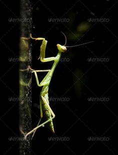 Preying Mantis Climbing