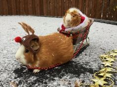 Hamster Santa and Hamster Rudolph Baby Guinea Pigs, Guinea Pig Care, Pet Pigs, Baby Animals Pictures, Cute Animal Pictures, Funny Animals, Wild Animals, Guinea Pig Costumes, Guinea Pig Clothes