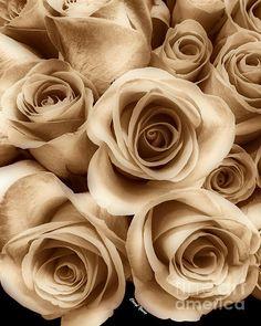 sepia roses