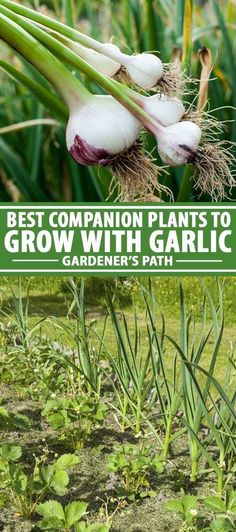 Are you looking for the best companion plants to grow with your garlic for mutual protection from pests and diseases and which can assist each other with complementary soil web interaction? Look no further than our nine selections of companion plants that provide mutual benefits when grown with garlic. Read more now on Gardener's Path. #garlic #companionplanting #gardenerspath Fall Garden Vegetables, Plants, Garlic Companion Plants, Cool Plants, Sweet Smelling Flowers, Planting Garlic, Succession Planting, Growing Bulbs, Companion Planting